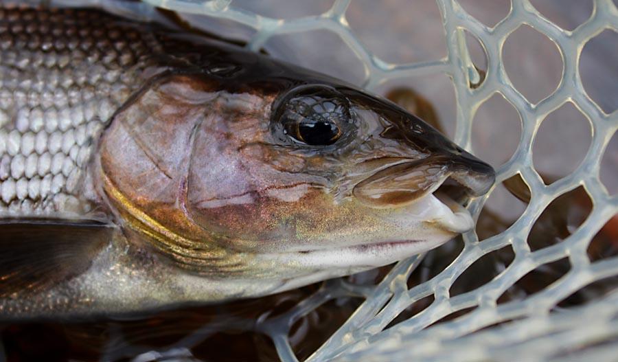 Fiskebestämmelser i Österdalälven, Älvdalen fiske